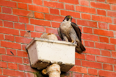 Adult female Peregrine falcon (Falco peregrinus) perched on a gutterbox, Bristol, England, UK, June.