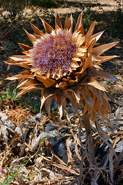 Wild artichoke / Cardoon (Cynara cardunculus) flowering, Sitia Nature Park, Lasithi, Crete, Greece, July.
