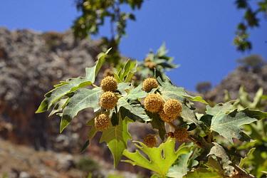 Oriental plane tree (Platanus orientalis) with fruits, Zakros gorge, Sitia Nature Park, Lasithi, Crete, Greece, July.