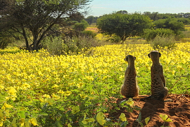 Meerkats (Suricata suricatta) two look out over a field of Devil's thorn flowers (Tribulus zeyheri) in the Kalahari Desert, South Africa.
