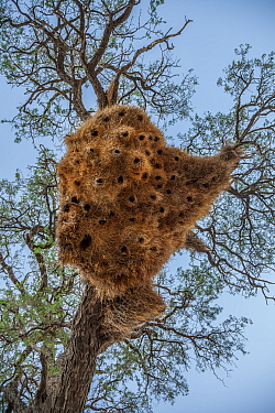 Nest of sociable weavers (Philetairus socius) hangs from a thorn tree in the Namib Desert, Namibia.