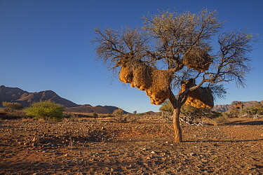 Nest of sociable weavers (Philetairus socius) hangs from a thorn tree in the Namib Desert, Namibia. February 2015
