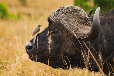 Yellow-billed oxpecker (Buphagus africanus) sitting on the nose of an African buffalo (Syncerus caffer) in the Masai Mara Reserve, Kenya.