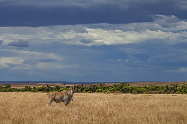A male common eland (Taurotragus oryx) stands on the savanna in the Maasai Mara Reserve, Kenya.