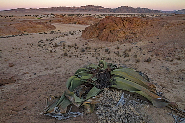 The desert endemic Welwitschia plant (Welwitschia mirabilis) at sunset near Swakopmund, Namibia. These species are among the most ancient organisms on the planet: some individuals might be more than 2...