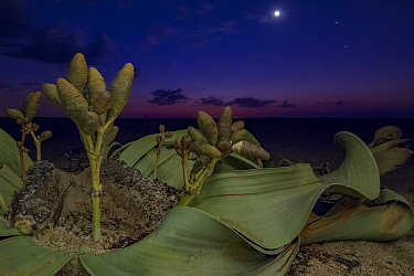 Cones of a female Welwitschia plant (Welwitschia mirabilis) at night, Swakopmund, Namib Desert, NamibiaThey are among the most ancient organisms on the planet: some individuals might be more than 2000...