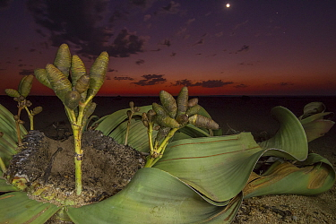 Cones of a female Welwitschia plant (Welwitschia mirabilis) at night, Swakopmund, Namib Desert, Namibia. They are among the most ancient organisms on the planet: some individuals might be more than 20...