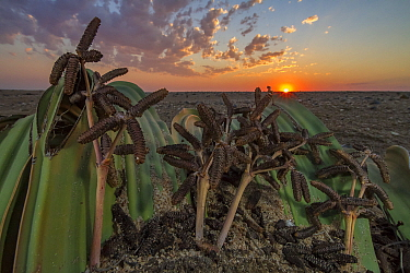 Male cones of the desert endemic Welwitschia plant (Welwitschia mirabilis) at sunset near Swakopmund, Namibia. These are among the most ancient organisms on the planet: some individuals might be more...