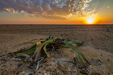 Desert endemic Welwitschia plant (Welwitschia mirabilis) male at sunset near Swakopmund, Namibia. Unlike most modern plants they're dioecious, which means that there are male plants and female plants,...