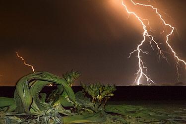 Lightning strikes during a thunderstorm over a desert endemic Welwitschia plant (Welwitschia mirabilis) near Swakopmund, Namib Desert, Namibia.