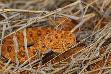 Horned adder (Bitis caudalis) camouflaged in iron-rich sand in the Kalahari Desert, South Africa.