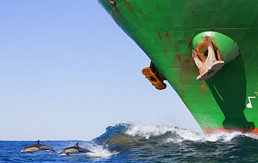 Long-beaked common dolphins (Delphinus capensis) breaching in front of large ship during sardine run, off East London, South Africa, June.  -  Chris and Monique Fallows