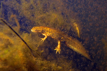 Palmate newt (Lissotriton helveticus) male in a pond maintained for newts and other pond life surrounded by Water fleas (Daphnia pulex), a major prey item, Mendip Hills, near Wells, Somerset, UK, Febr...