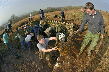 Volunteers from the Reptile and Amphibian Group for Somerset and Somerset Wildlife Trust clearing weeds and mud from an overgrown, derelict dewpond during renovation work to encourage use by Great cre...