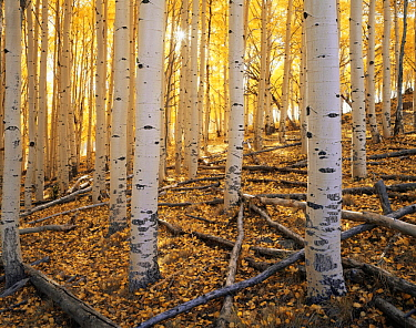 Trunks of Quaking aspen trees {Populus tremuloides} in morning sun, autumn, Boulder Mountain, Dixie national forest, Utah, USA