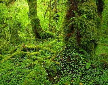 Club moss {Lycopodium sp} covering trunks of Big leaf maple {Acer macrophyllum} with Sword ferns {Polystichum munitum} and Wood sorrel {Oxalis oregana} in foreground, Hoh temperate rainforest, Olympic...