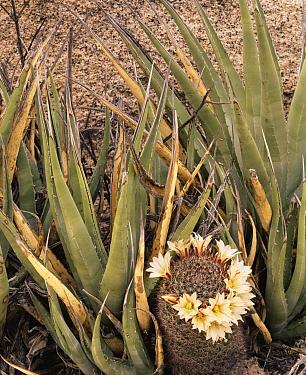 Flowering Pincushion / Fishhook cactus {Mammillaria sp} and Agave {Agave sp} nr Catavina, Desierto Central, Baja California, Mexico