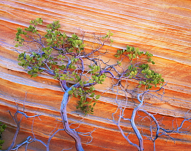Petrified sand dunes with eroded red and yellow sandstone bands, Paria Canyon-Vermilion Cliffs Wilderness, Arizona, USA, and Pointleaf manzanita {Arctostaphylos pungens}