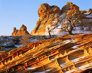 Petrified sand dunes with eroded cross hatch sandstone strata at dawn, Paria Canyon-Vermilion Cliffs Wilderness, Arizona, USA with first winter snow and Juniper bushes {Juniperus osteosperma}
