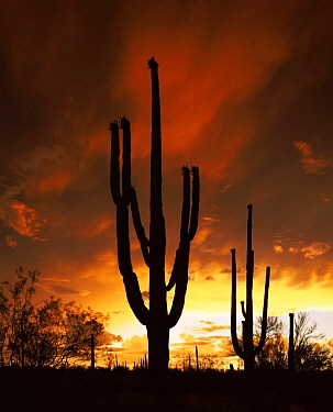 Saguaro cactus {Carnegia gigantea} at sunset silhouetted against summer storm clouds, Tucson Mountain Park, Arizona, USA