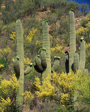 Saguaro cactus {Carnegia gigantea} flowering, Paloverde {Cercidium microphyllum} and Mesquite {Prosopis glandulosa} flowering on Bajada hillside, Hot Springs Canyon, Arizona, USA