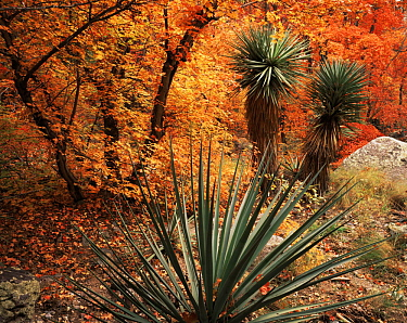 Yucca {Yucca schottii} and Bigtooth maples {Acer grandidentatum} in autumn colours, Huachuca mountains, Coronado National Forest, Arizona, USA