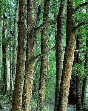 Red Beech (Nothofagus fusca) trunks, Kepler Track, Fiordland National park, South Island, New Zealand