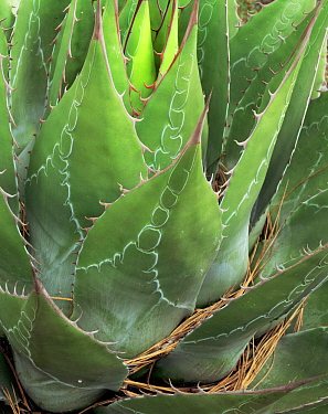 Close-up of Agave (Agave montana) with red thorns / spines and interesting patternation on blades, Sierra Madre Oriental mountain range, Tamaulipas, Mexico
