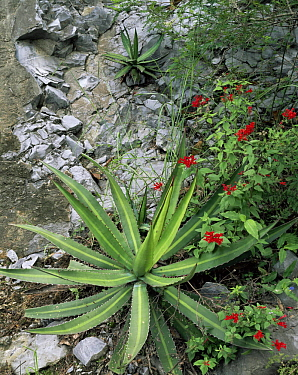 Agave (Agave lophantha) on rock face with red flowering Bouvardia sp, Sierra Madre Oriental, Mexico