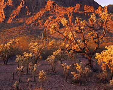 Chain-fruit Chollas (Opuntia fulgida)(foreground) and Saguaro cacti (Carnegiea gigantea) at dawn with the Sand Tank Mountains in the background, Sonoran Desert National Park, Arizona