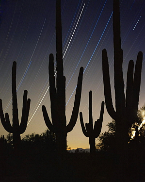 Saguaro Cacti (Carnegiea gigantea) silhouetted against night sky with star trails, time exposure for 5 hours after midnight, Cabeza Prieta National Wildlife Refuge, Arizona. New Years 2000