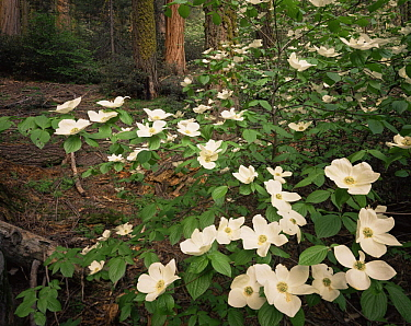 Pacific Dogwood (Cornus nuttallii) in flower with Sequoia and White Fur tree trunks in background, Sequoia National Park, California