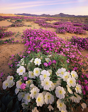 Sand Verbena (Abronia villosa) and Birdcage Evening Primrose (Oenothera deltoides) flowering on Pinta Sands, Sierra Pinta Mtns, Cabeza Prieta NW Refuge, Arizona, USA
