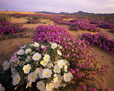 Sand Verbena (Abronia villosa) and Birdcage Evening Primrose (Oenothera deltoides) flowering on Pinta Sands, Sierra Pinta Mtns, Cabeza Prieta NW Refuge, Arizona, USA