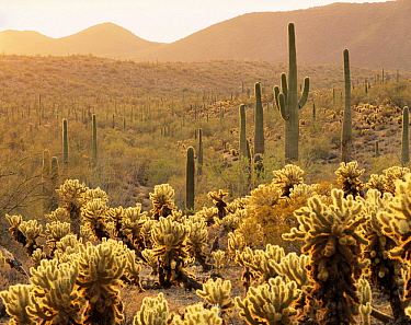 Teddy Bear Cholla (Opuntia bigelovii) and Saguaro Cacti (Carnegiea gigantea) lit by the afternoon light in the Sand Tank Mountains, Sonoran Desert National Monument, Arizona, USA