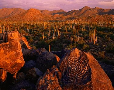 Signal Hill petroglyphs at sunset with Saguaro Cacti (Carnegiea gigantea) and Tucson Mountains in the background, Saguaro National Monument, Arizona, USA