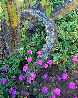 Senita Cactus (Lophocereus crystallinum) amid Sand Verbena (Abronia villosa) and flowering Ice Plants (Mesembryanthemum crystallinum), Vizcaino Desert, Baja California Sur, Mexico, Central America