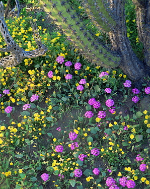 Sand Verbena (Abronia villosa) and Evening Primrose (Oenothera sp) flowering beneath a Galloping Cactus (Stenocereus gummosus)  Vizcaino Desert, Baja California Sur, Mexico, Central America