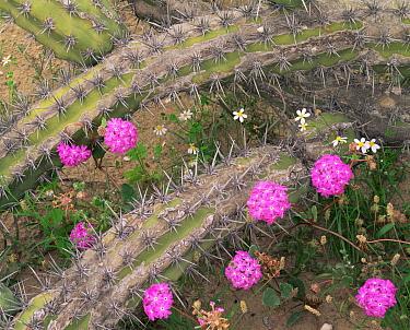 Galloping Cactus (Stenocereus gummosus) amid flowering Sand Verbena (Abronia villosa)  and Rock Daisies (Perityle emoryi), Vizcaino Desert, Baja California Sur, Mexico, Central America