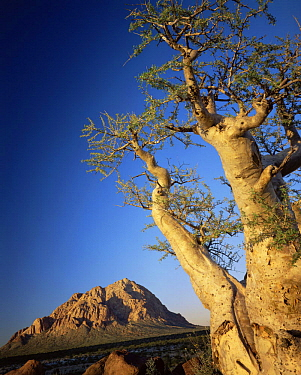 Pico El Gato Mountains with a Torote Elephant Tree (Pachycormus discolor) in the foreground, Vizcaino Desert, Baja California Sur, Mexico, Central America