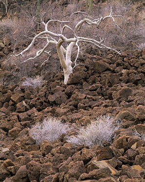 Elephant Tree (Bursera microphylla) growing in the Pico Vicente lava flow, Sonoran Desert, Baja California Sur, Mexico, Central America