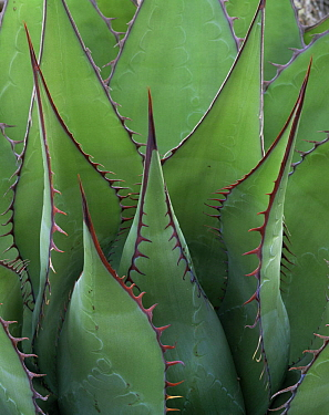 Coastal Century Plant (Agave shawii) with red edging and spines, Sonoran Desert, Baja California Sur, Mexico, Central America