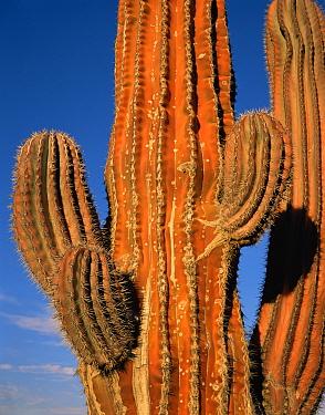 Cardon Cactus (Pachycereus pringlei) reddened on the sun exposed side, Baja California Sur, Mexico, Central America