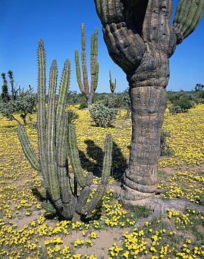Cardon Cactus (Pachycereus pringlei) and Galloping Cactus (Machaerocereus gummosus) amongst flowering Evening Primrose (Oenthera sp), Vizcaino Desert, Baja California Sur, Mexico, Central America