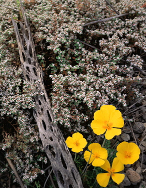 California Poppies (Eschscholtzia californica) and flowering Spurge (Euphorbia sp) with a Cholla Cactus (Opuntia cholla) skeleton, Tres Virgenes, Baja California Sur, Mexico, Central America