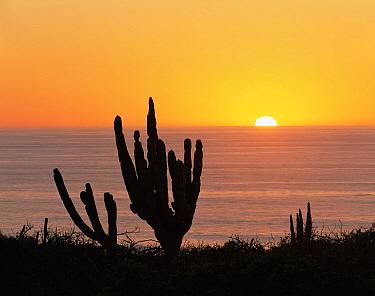 Cardon Cacti (Pachycereus pringlei) on the shore of the Pacific Ocean at sunset, Baja California Sur, Mexico, Central America