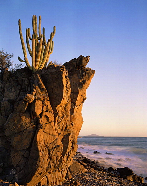 Organpipe Cactus (Cereus thurberi) rooted in volcanic rock on the coast of the Sea of Cortez at dawn, Baja California Sur, Mexico, Central America