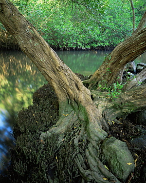 Trunk and roots of a White Mangrove (Laguncularia racemosa) with Red Mangroves (Rhizophora mangle) lining the water in the background, La Tovara Wetlands, San Blas, Mexico, Central America