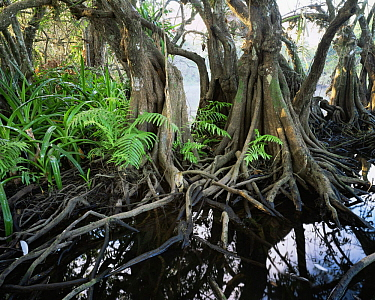Anonilla (Rollinia jimenezii), Crinum Lilies (Crinum scabrum) and ferns (Thelypteris sp) in the roots of a Mangrove (Rhizophora mangle), La Tovara Wetlands, San Blas, Mexico, Central America