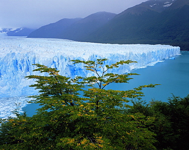 Moreno Glacier viewed through Southern beech trees (Nothofagus sp), Glaciers National Park, Argentina